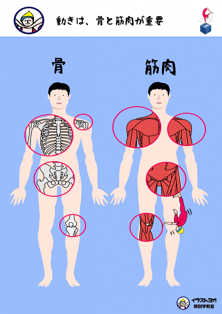 ヨガと解剖学