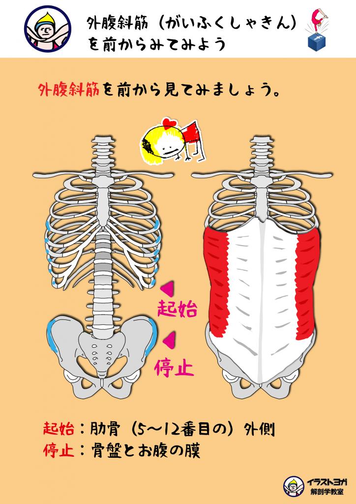 外腹斜筋 イラスト