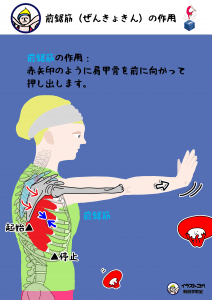 前鋸筋|ヨガ解剖学