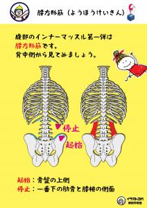 ヨガ解剖学|腰方形筋