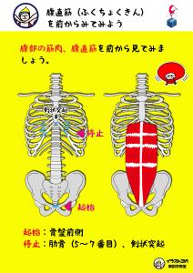 腹直筋|ヨガ解剖学