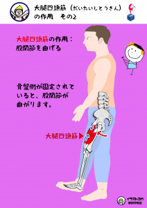 大腿四頭筋 解剖学