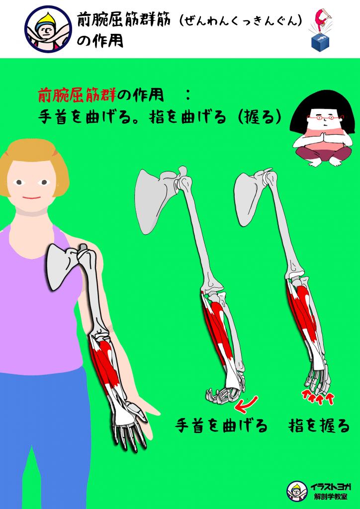 前腕 ヨガ解剖学