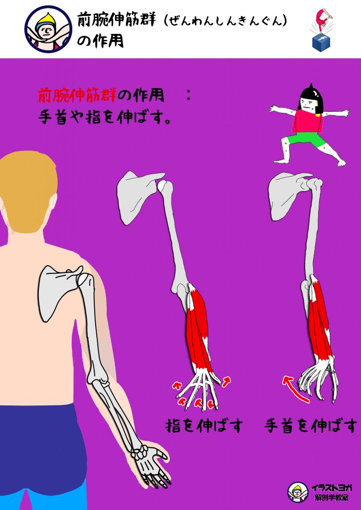 前腕伸筋群 ヨガ解剖学
