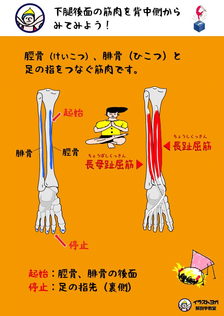 イラスト ヨガ 解剖学
