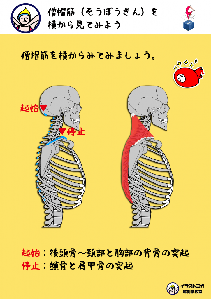 僧帽筋|ヨガ解剖学