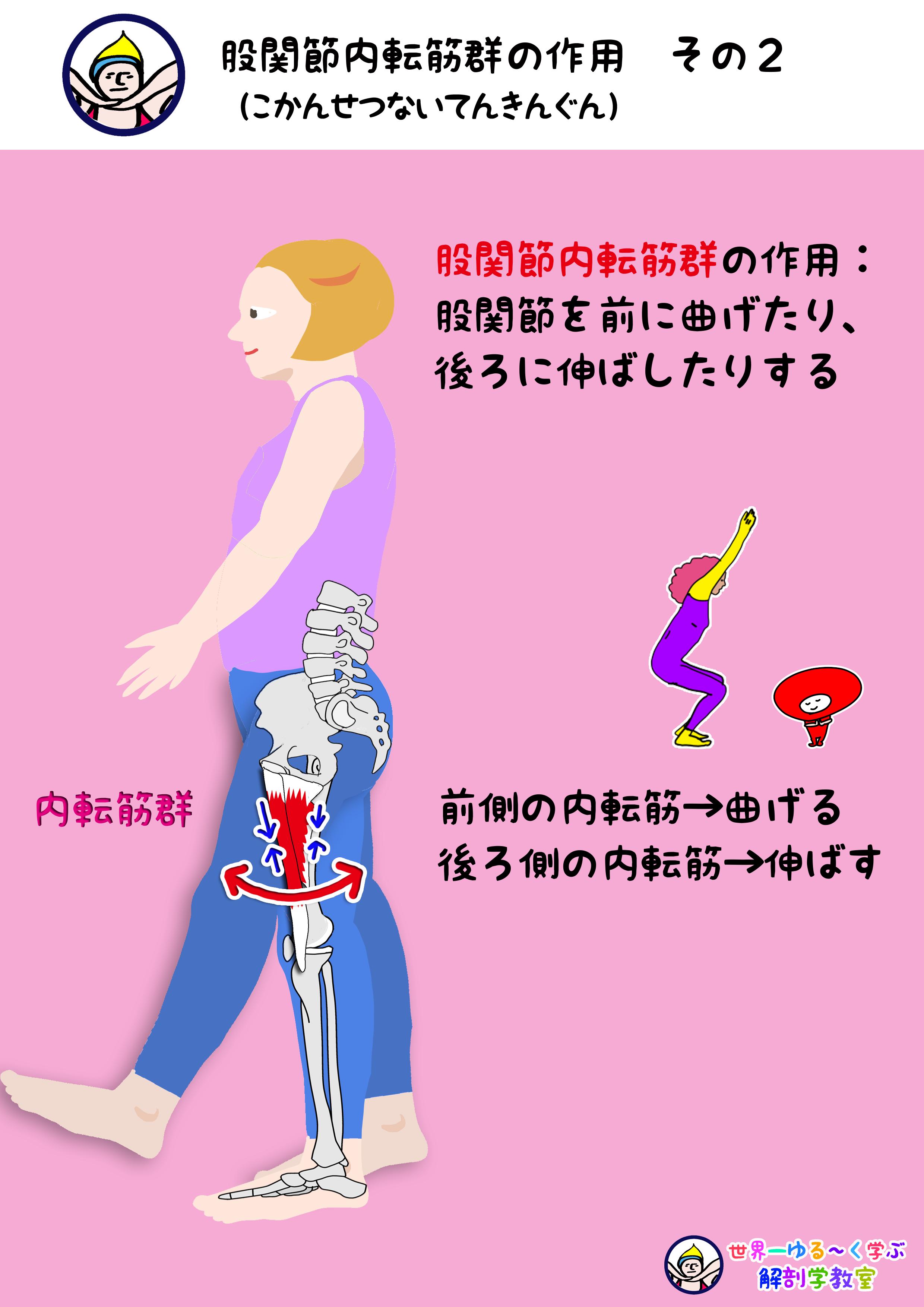 内転筋群の作用 その2