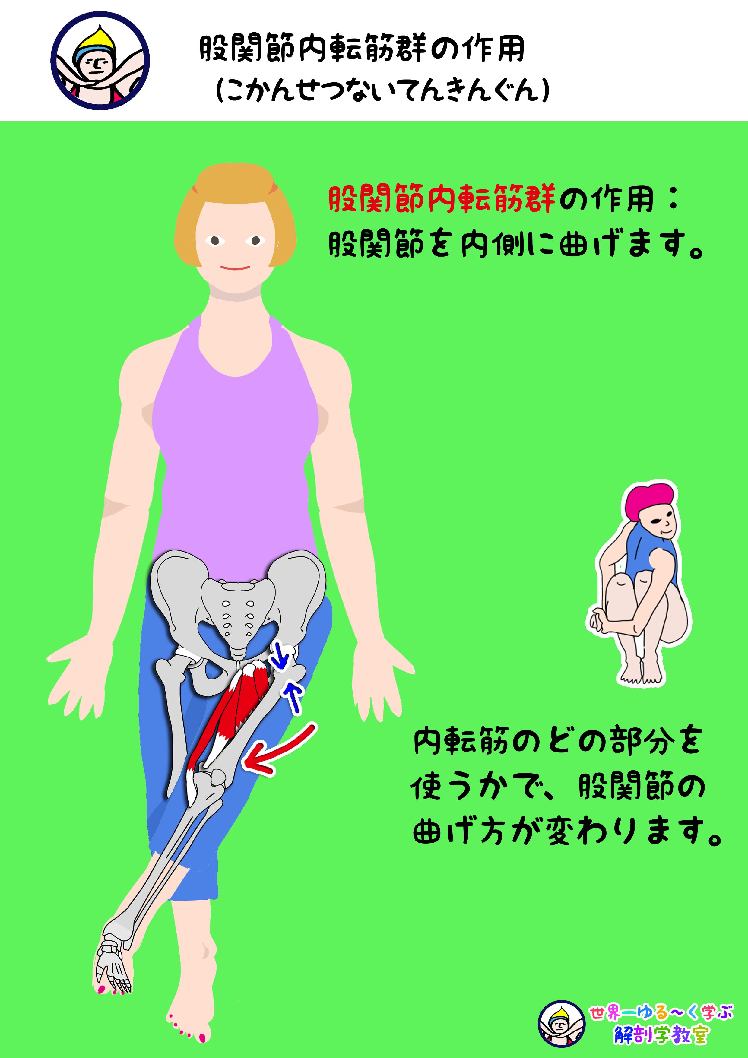 内転筋群の作用