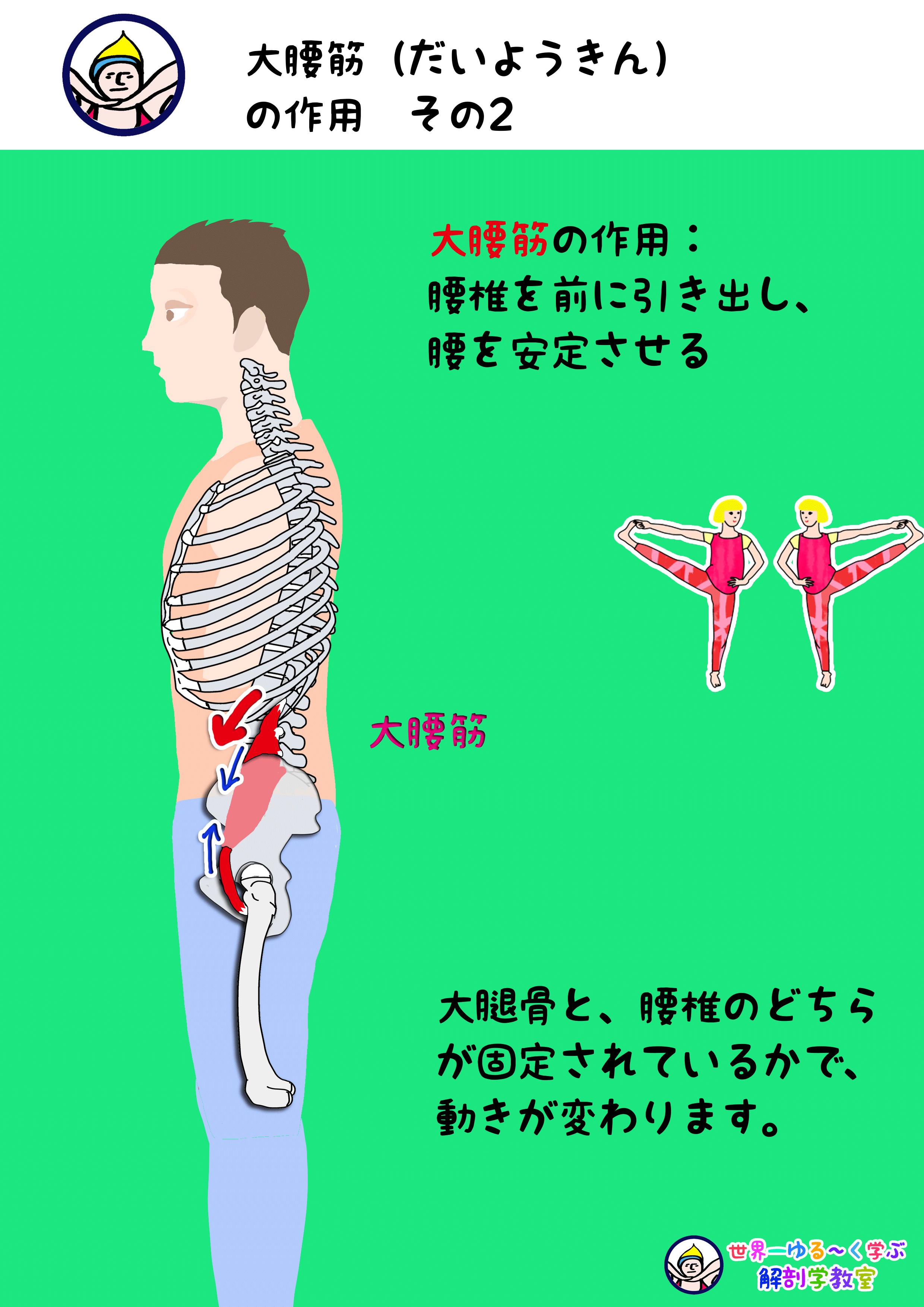 大腰筋の作用 その2