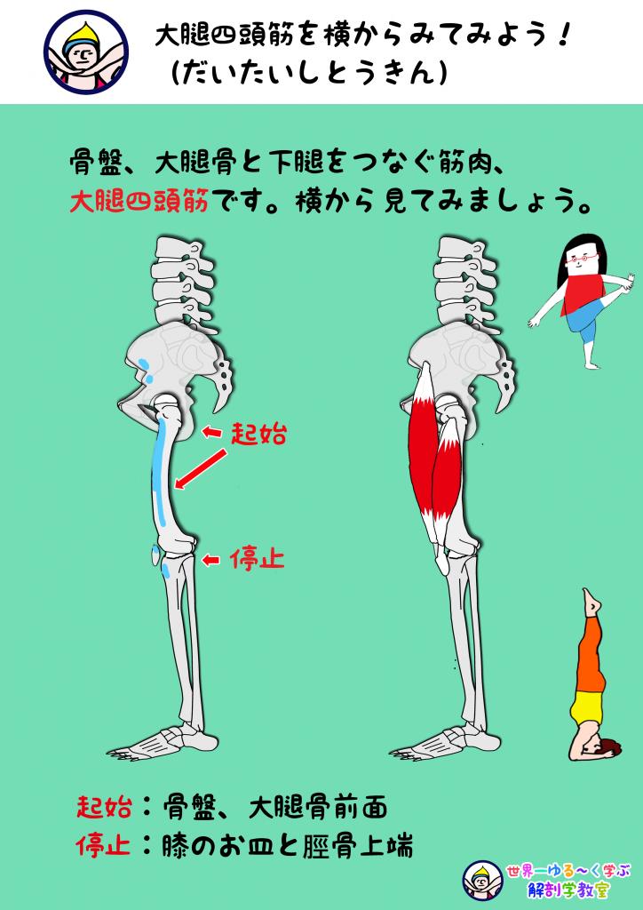 大腿四頭筋 横