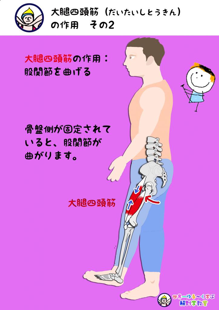 大腿四頭筋の作用 その2