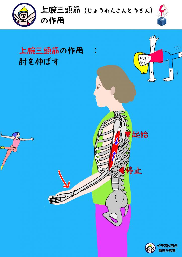 上腕三頭筋 ヨガ解剖学