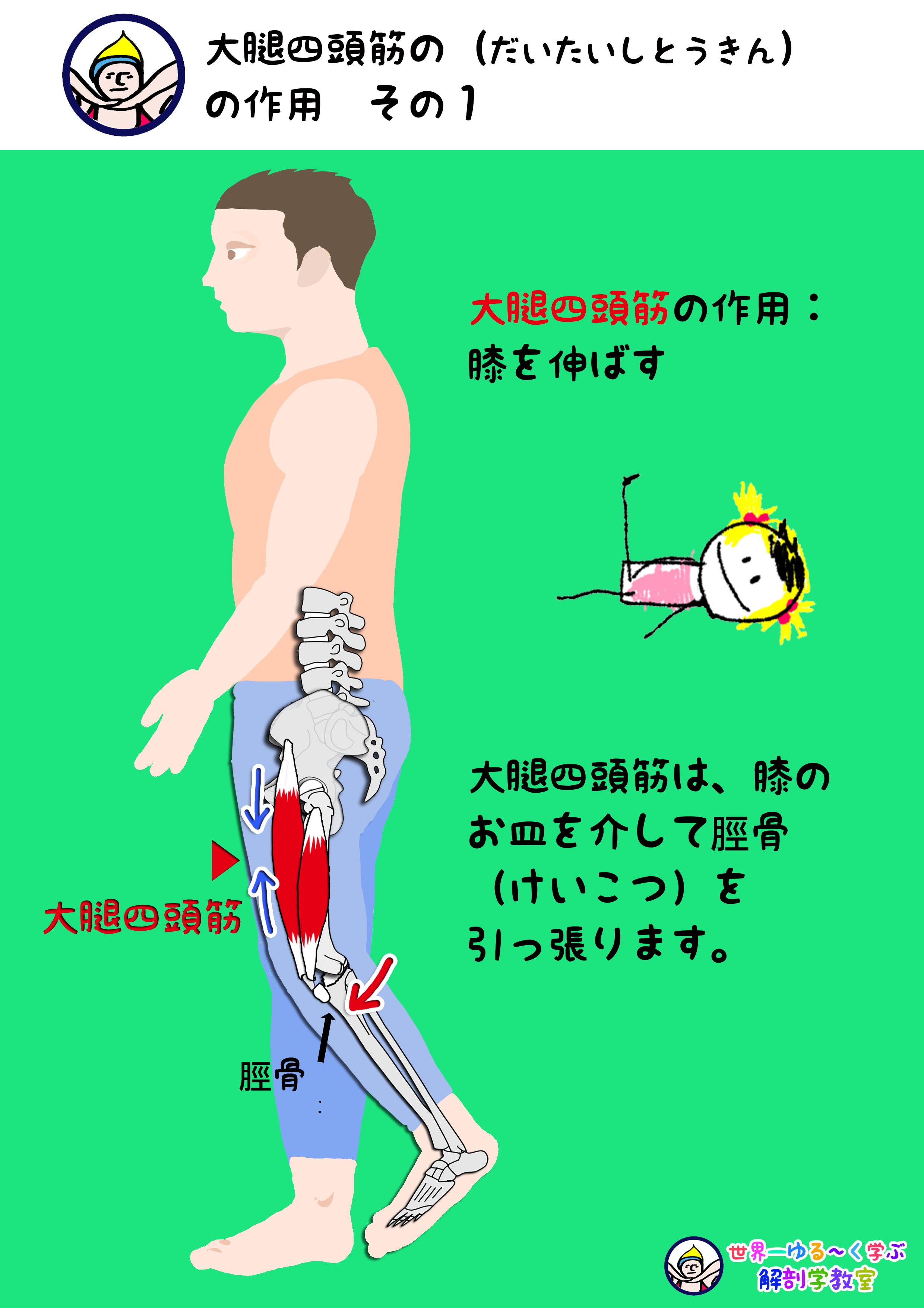 大腿四頭筋の作用 その1