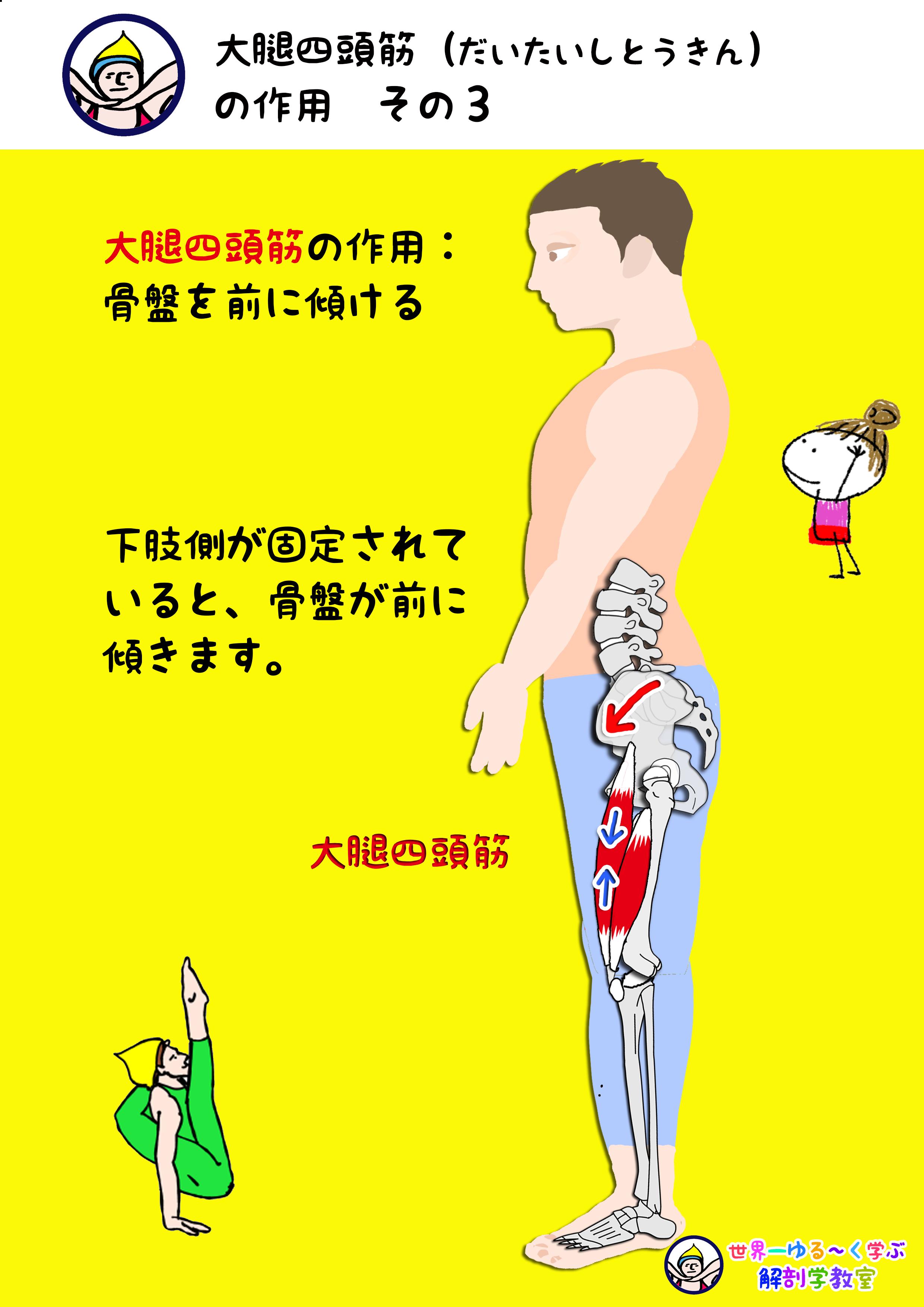 大腿四頭筋の作用 その3