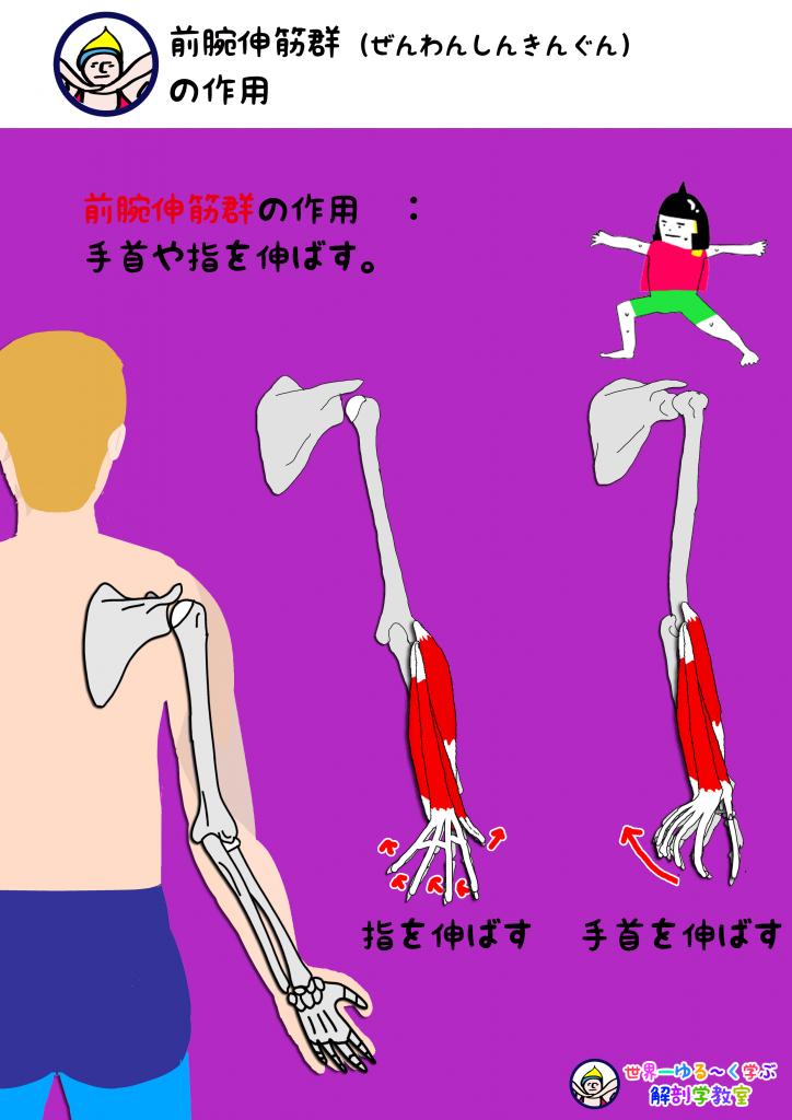 前腕伸筋群の作用