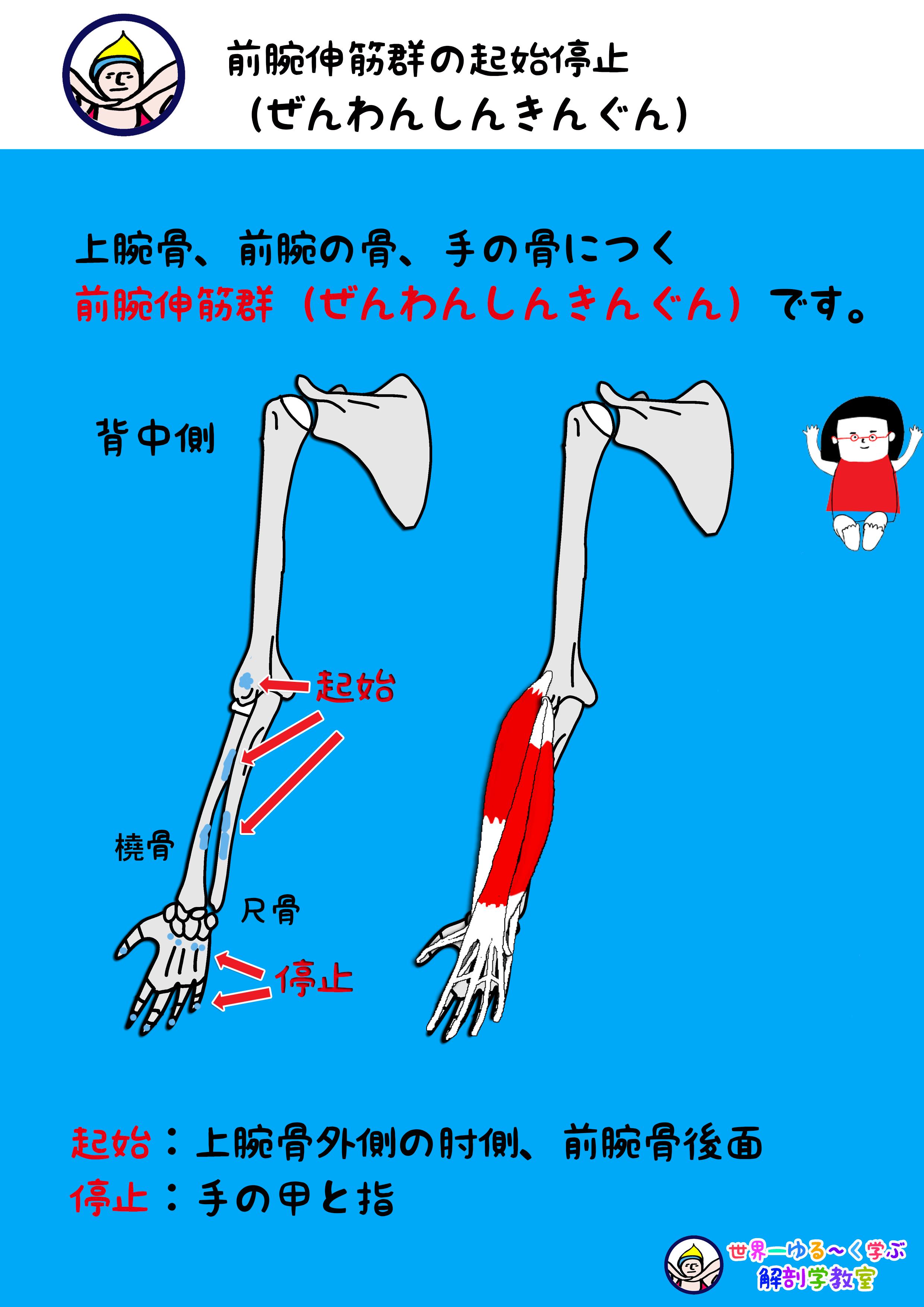前腕伸筋群