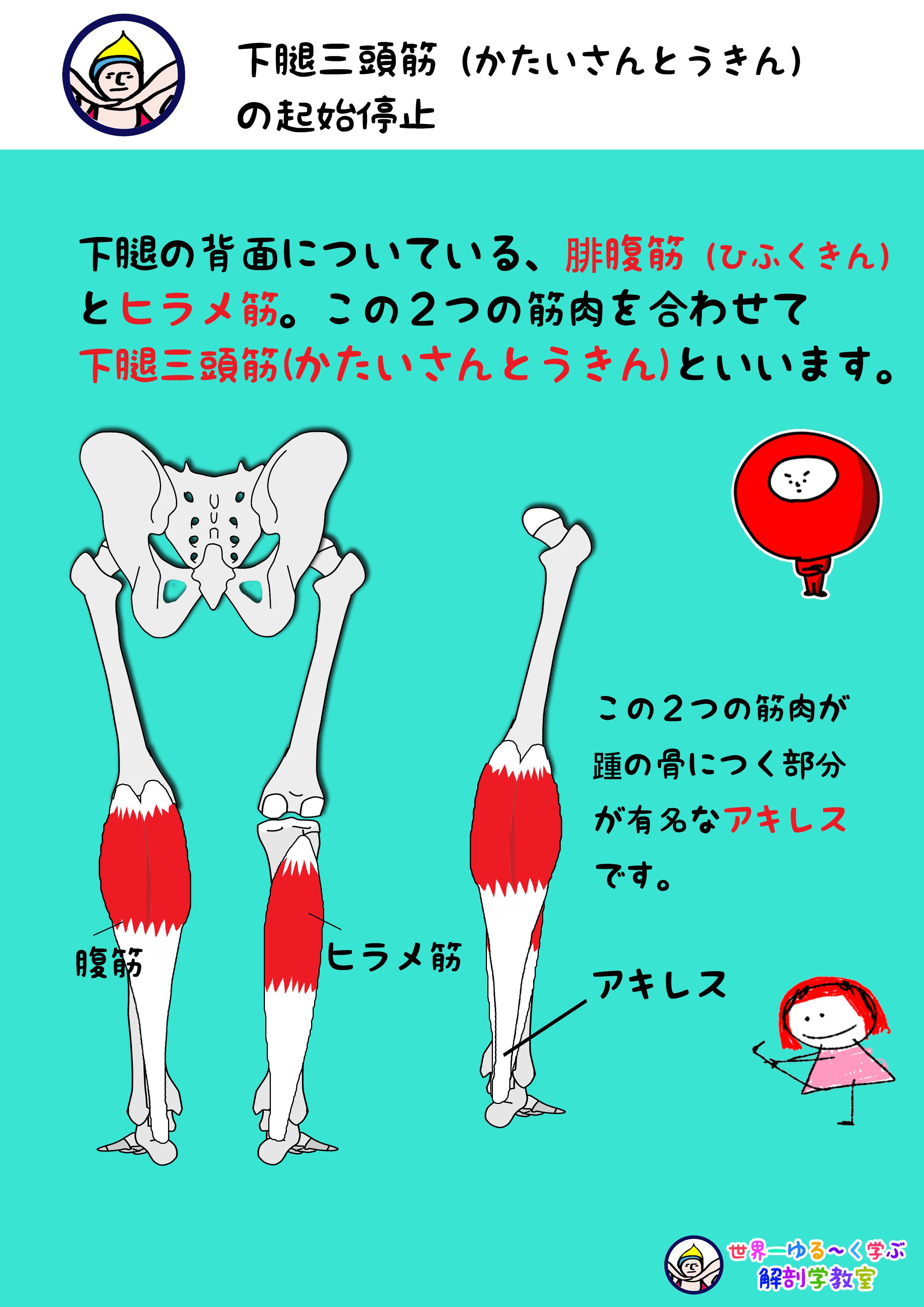 下腿三頭筋 腓腹筋とアキレス腱