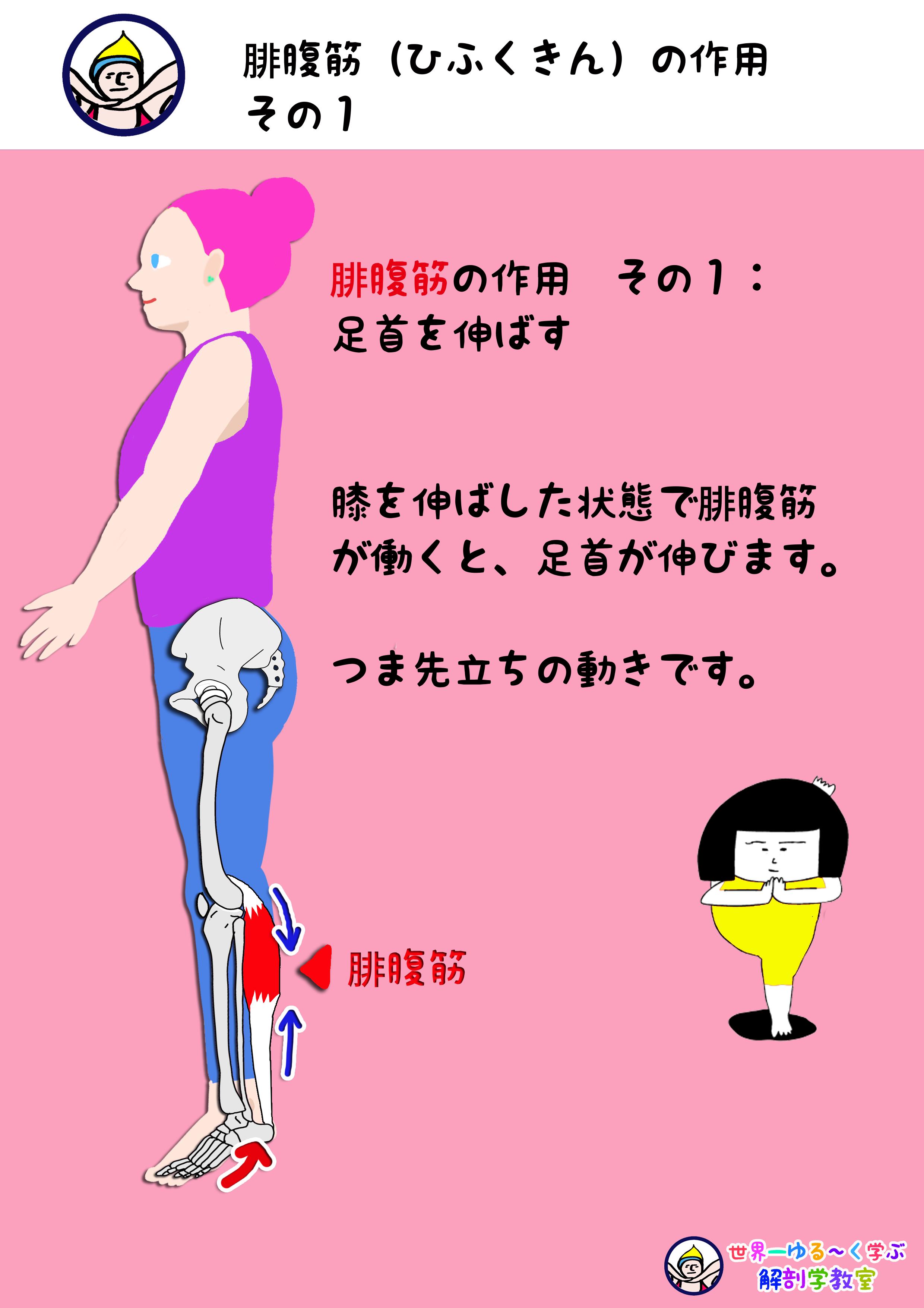 腓腹筋の作用 その1