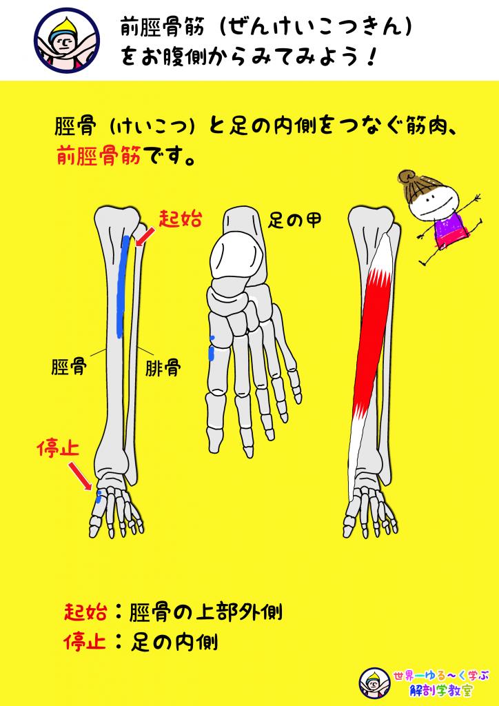 前脛骨筋 腹側