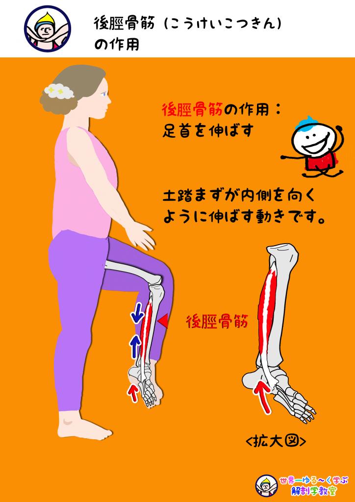 後脛骨筋の作用