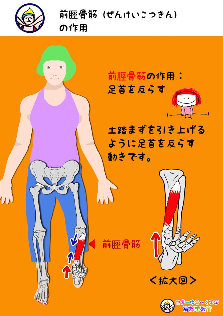 前脛骨筋の作用