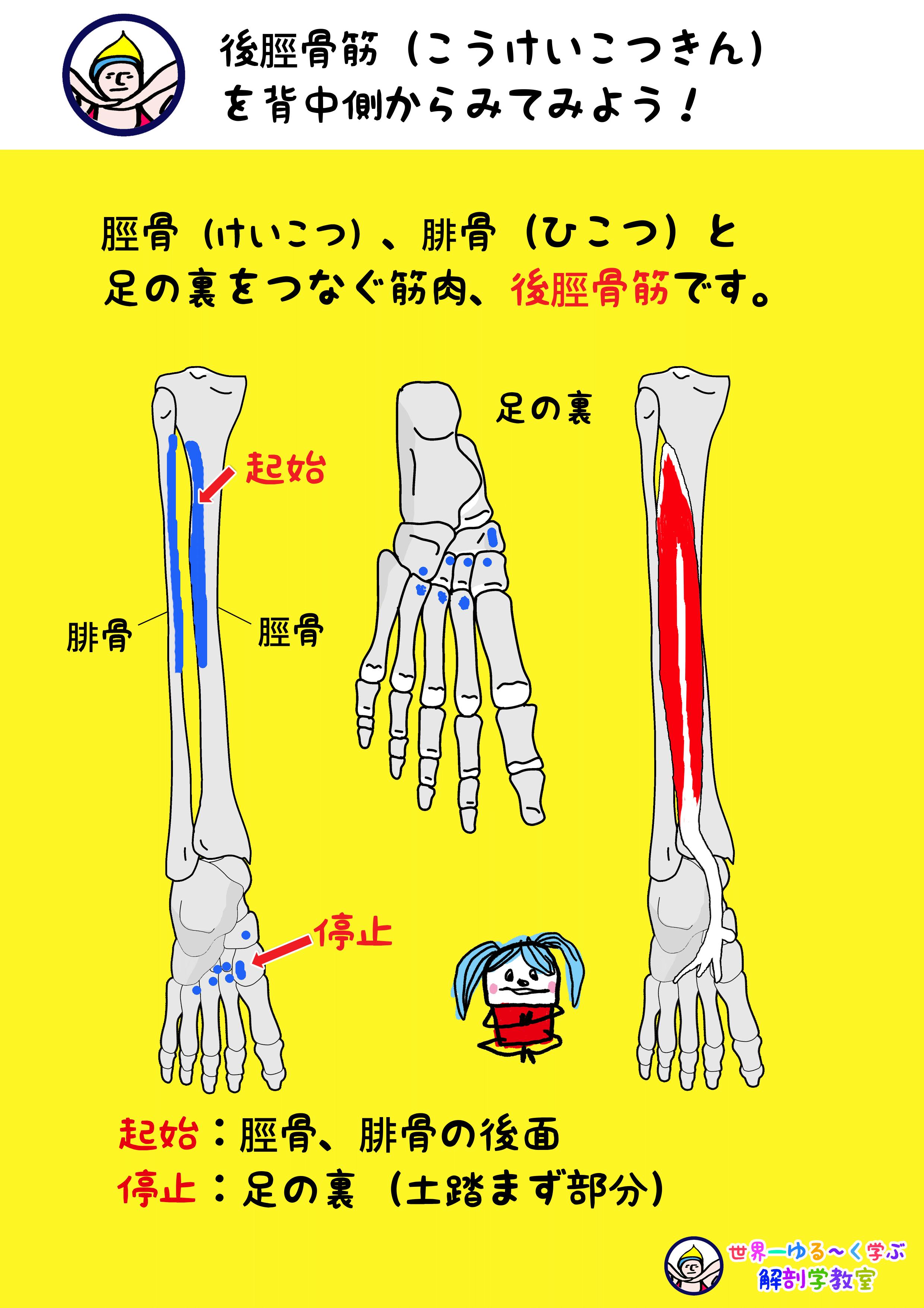 後脛骨筋 背面