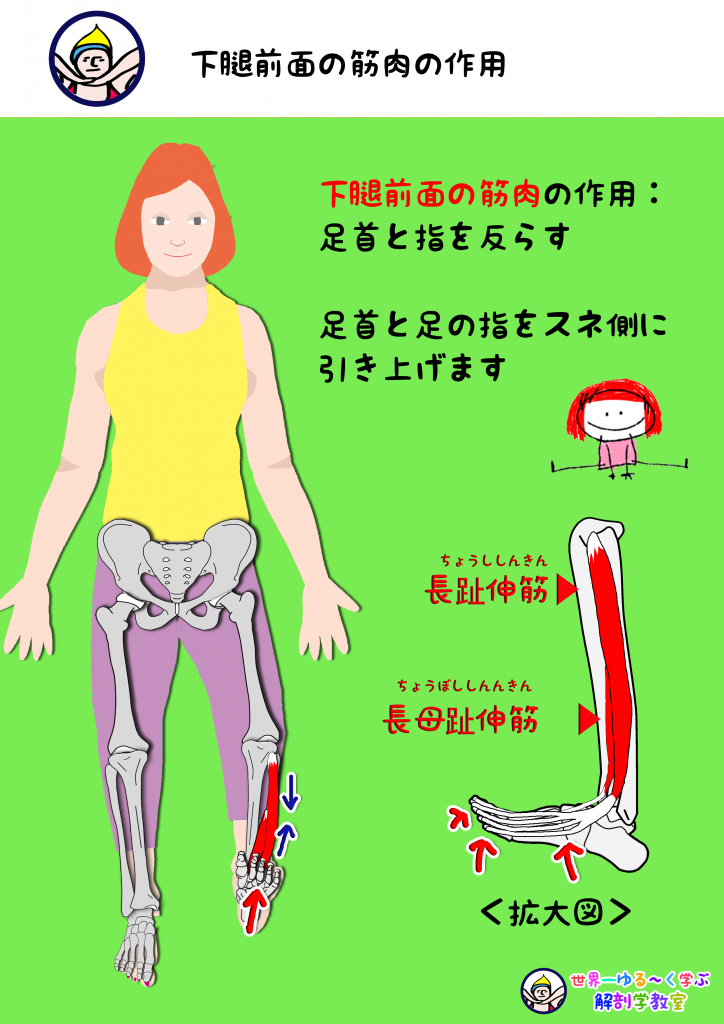 足・指を反らす筋肉の作用
