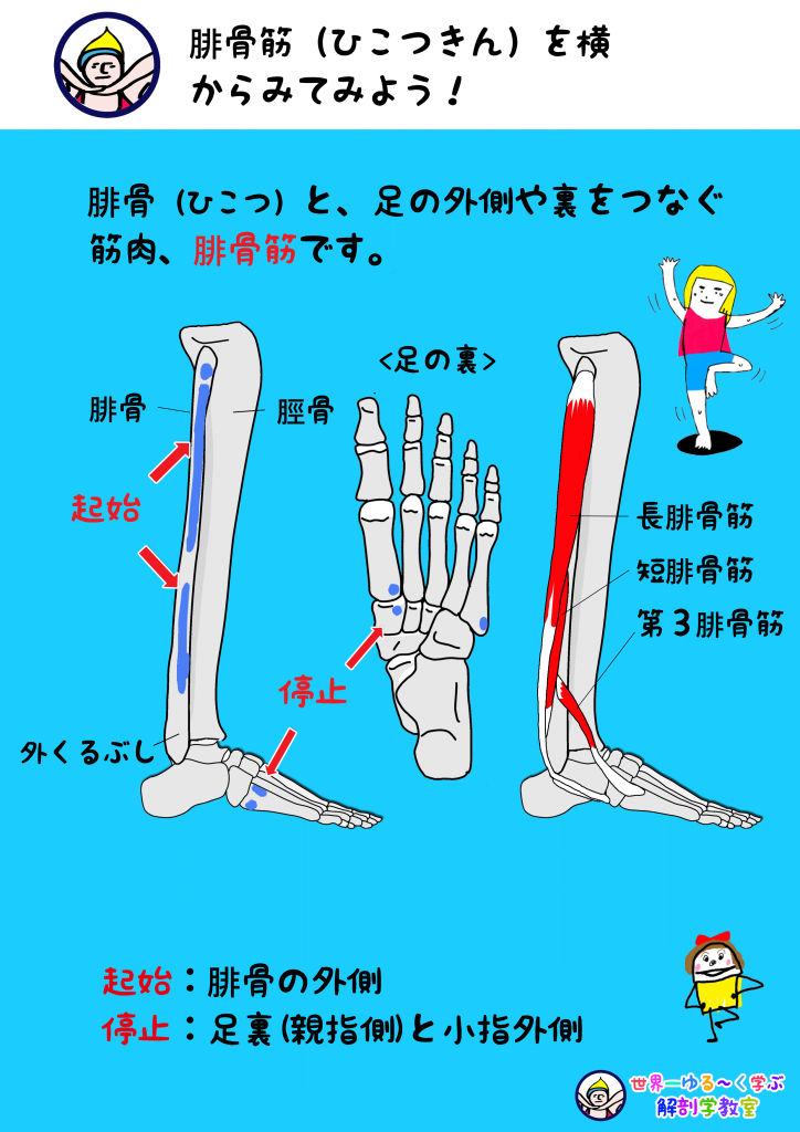 腓骨筋 横