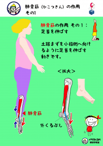 腓骨筋 ヨガ イラスト