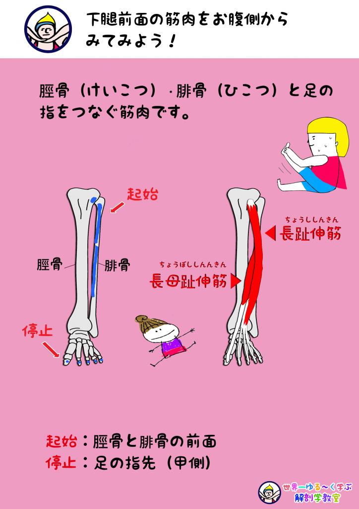 足・指を反らす筋肉 起始停止