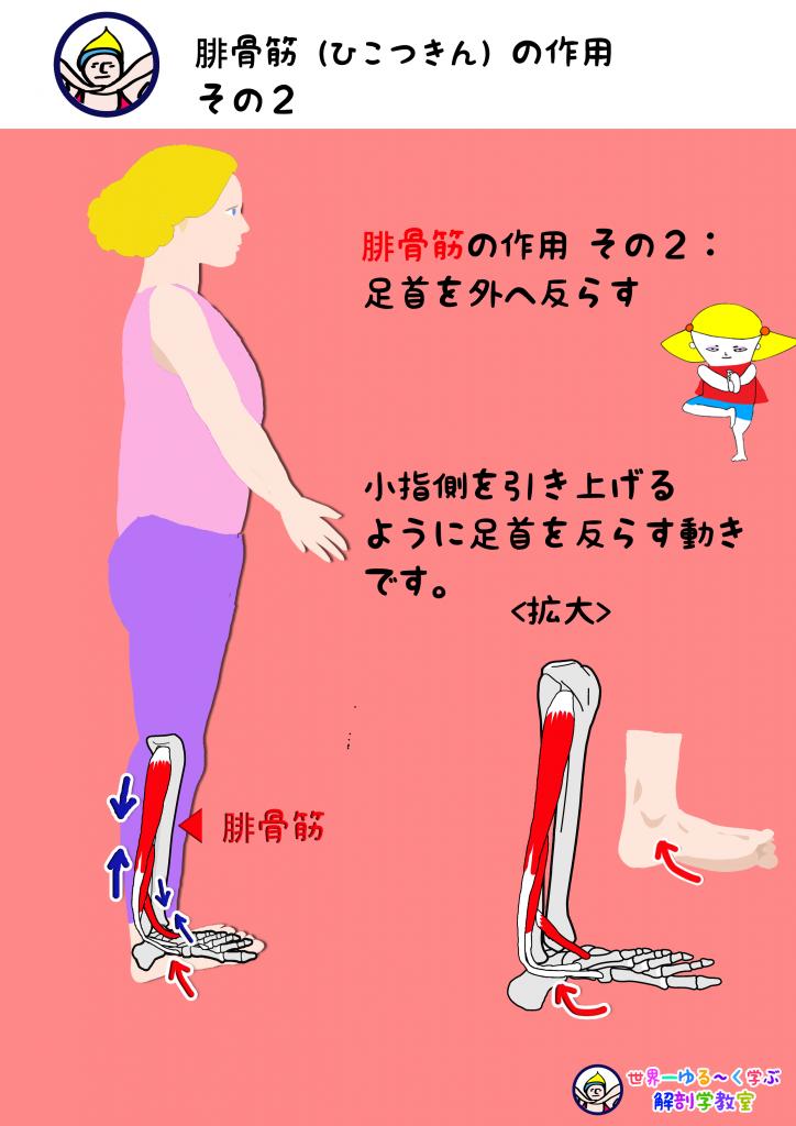 腓骨筋の作用その2