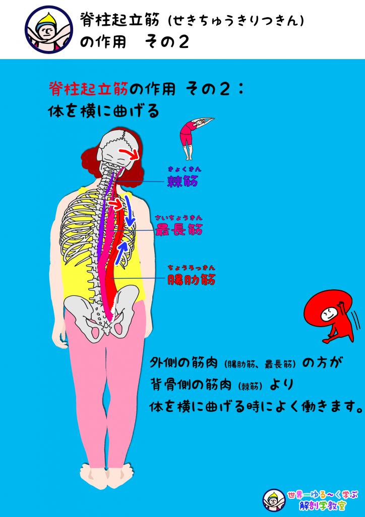 脊柱起立筋の作用  その2