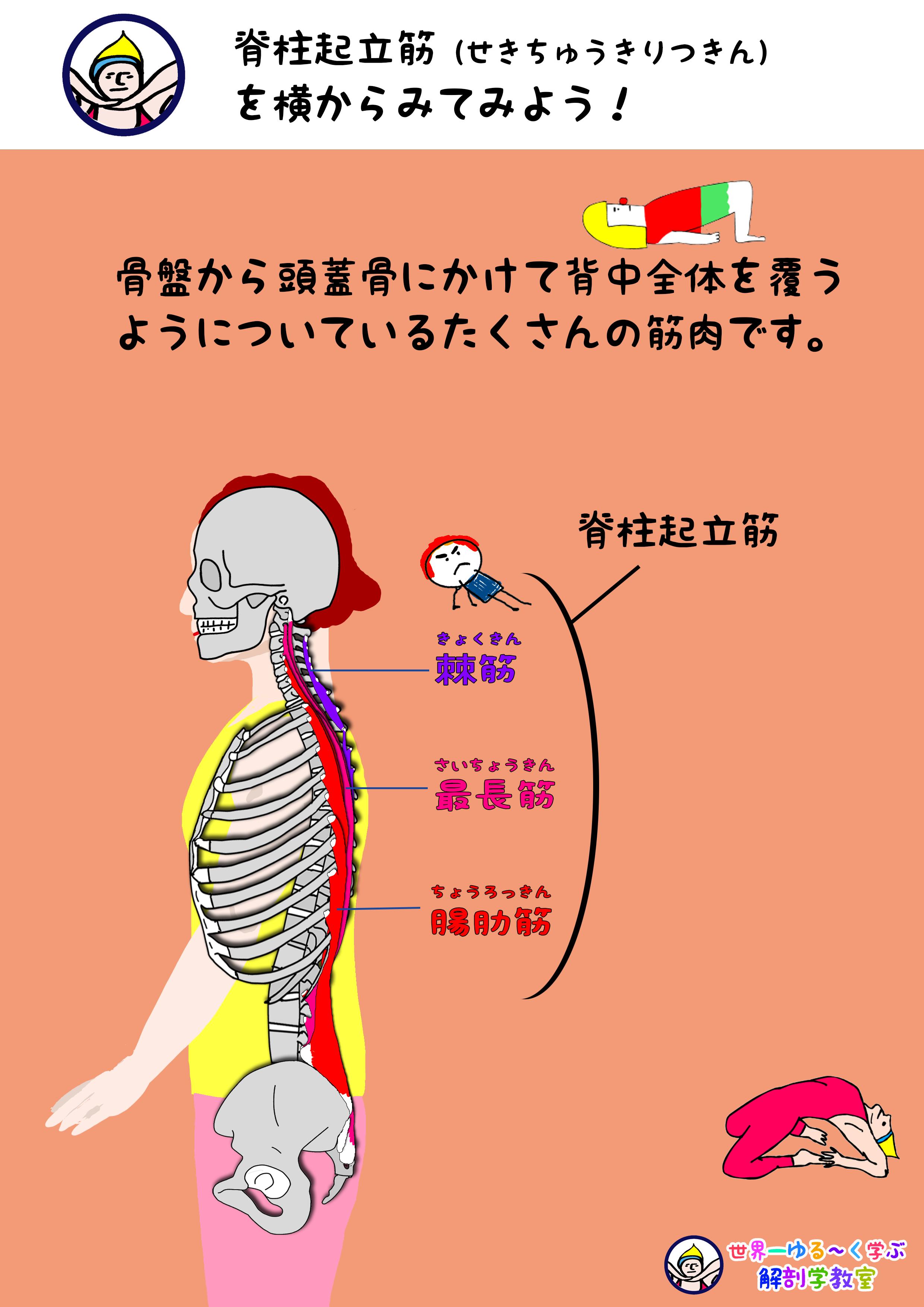 脊柱起立筋 側面