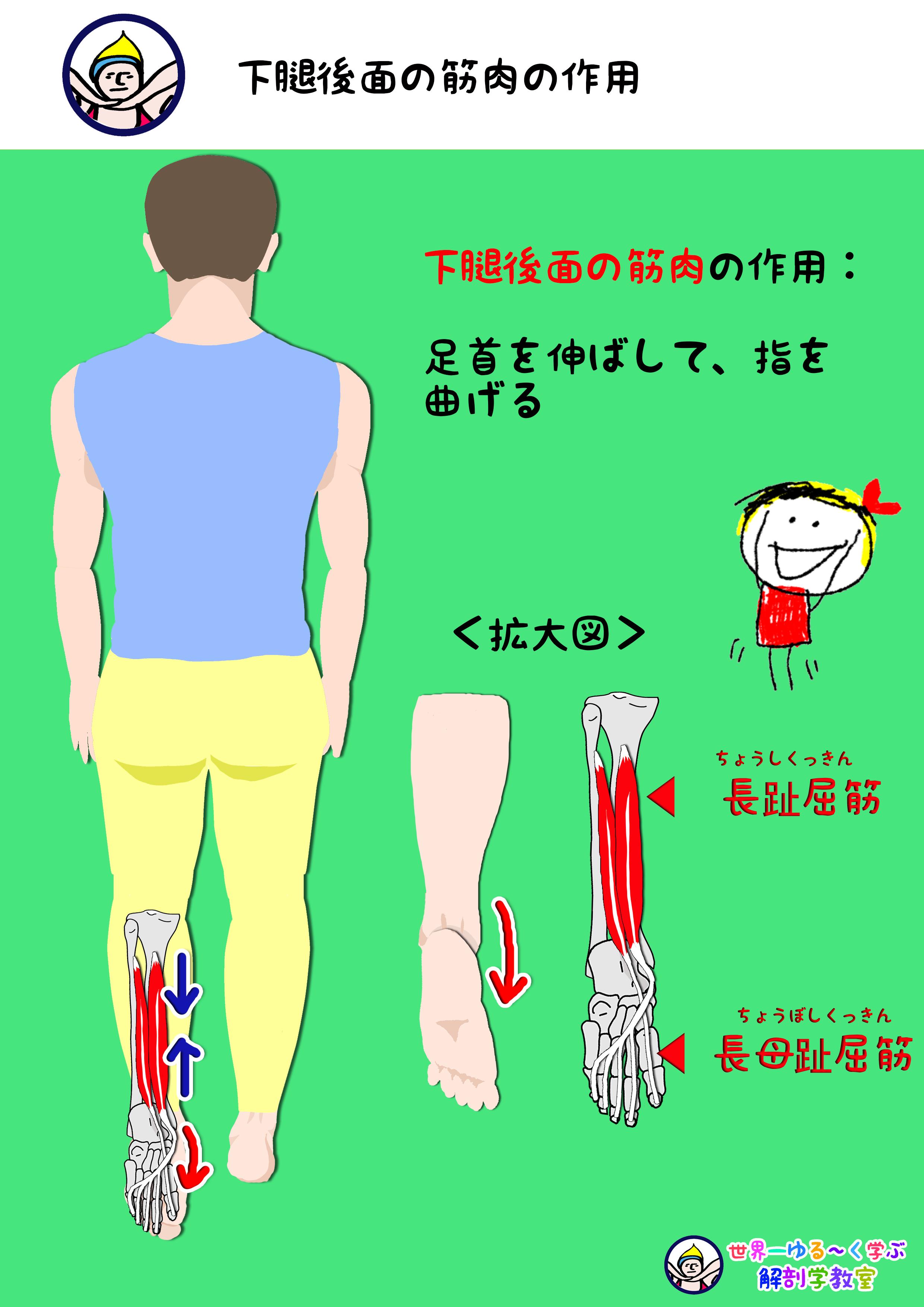 足趾屈筋作用