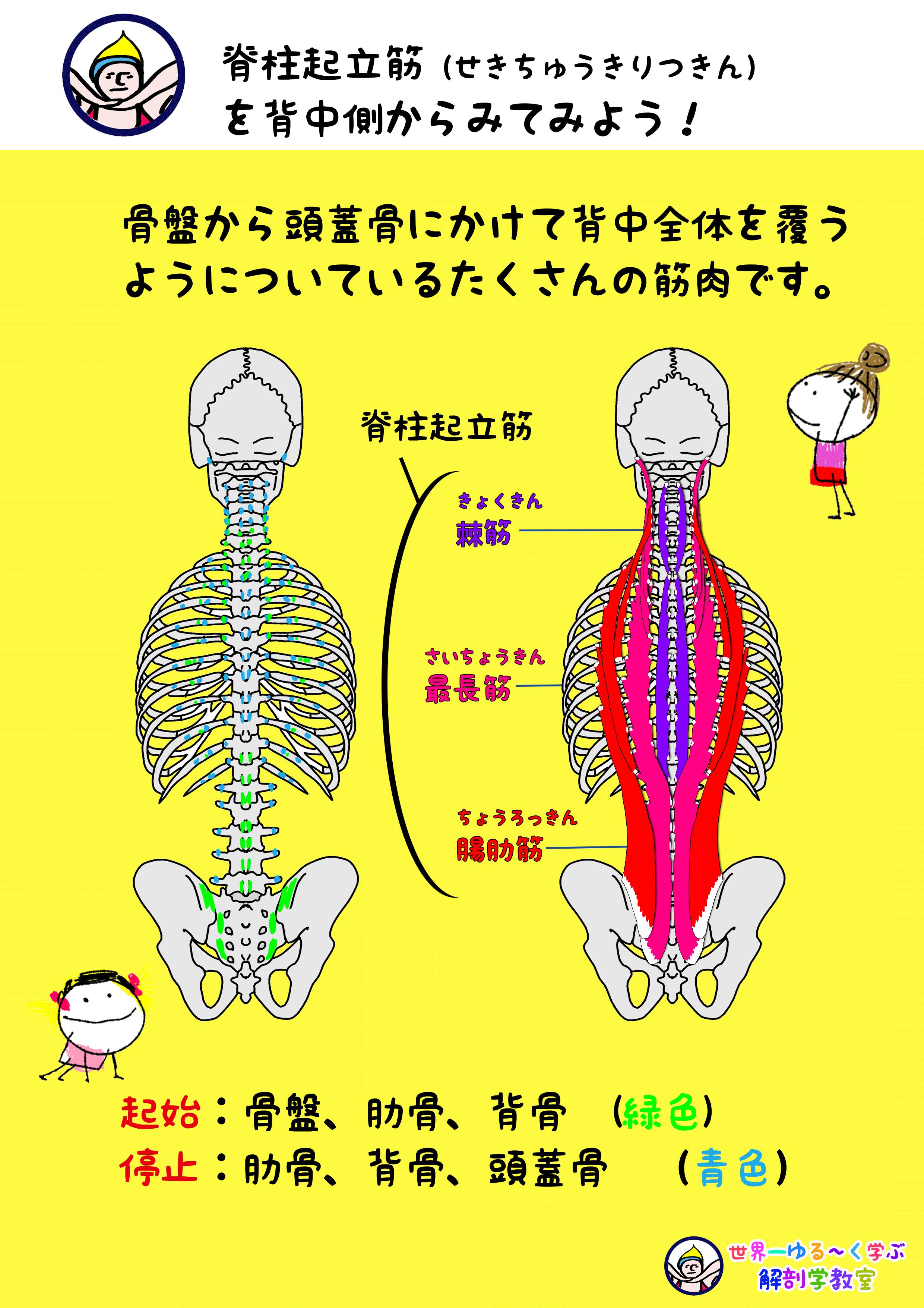 脊柱起立筋 背面