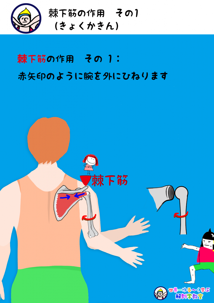 棘下筋の作用 外旋