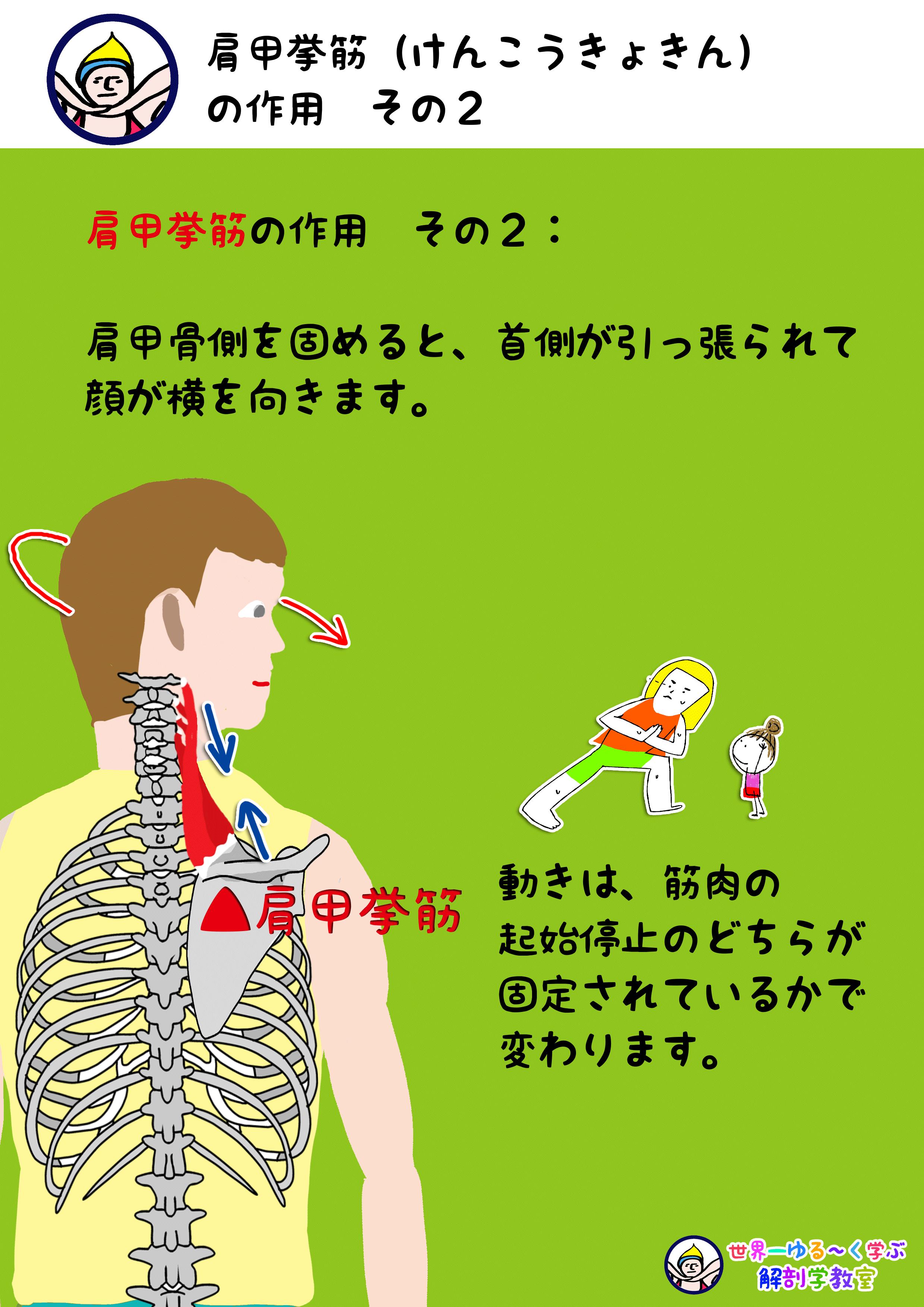 肩甲挙筋の作用 首の回旋