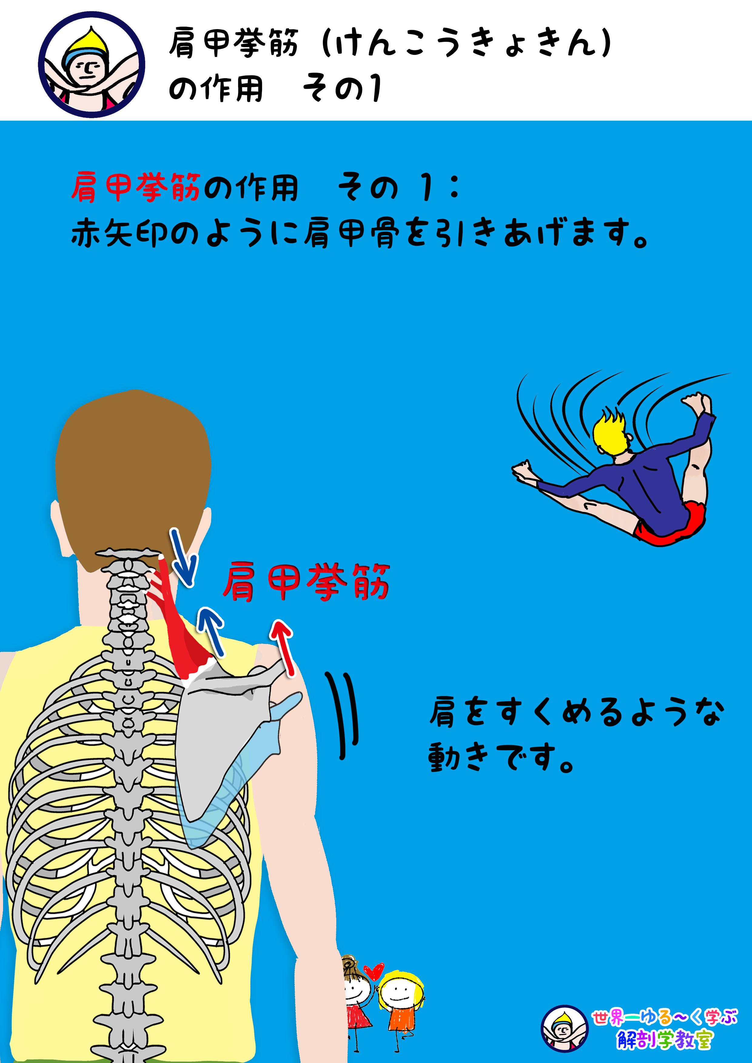 肩甲挙筋の作用 挙上