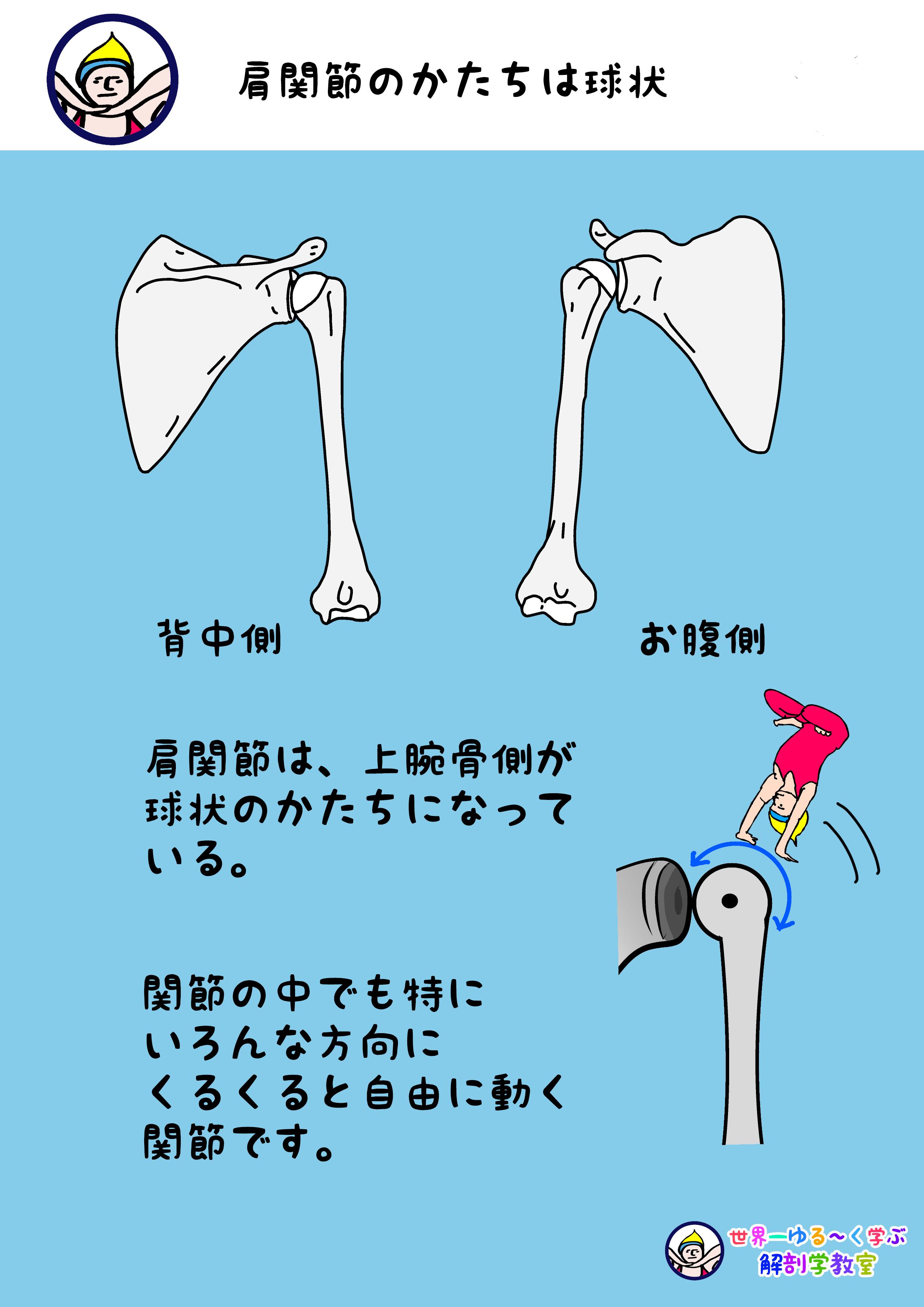 肩関節のかたちは球状