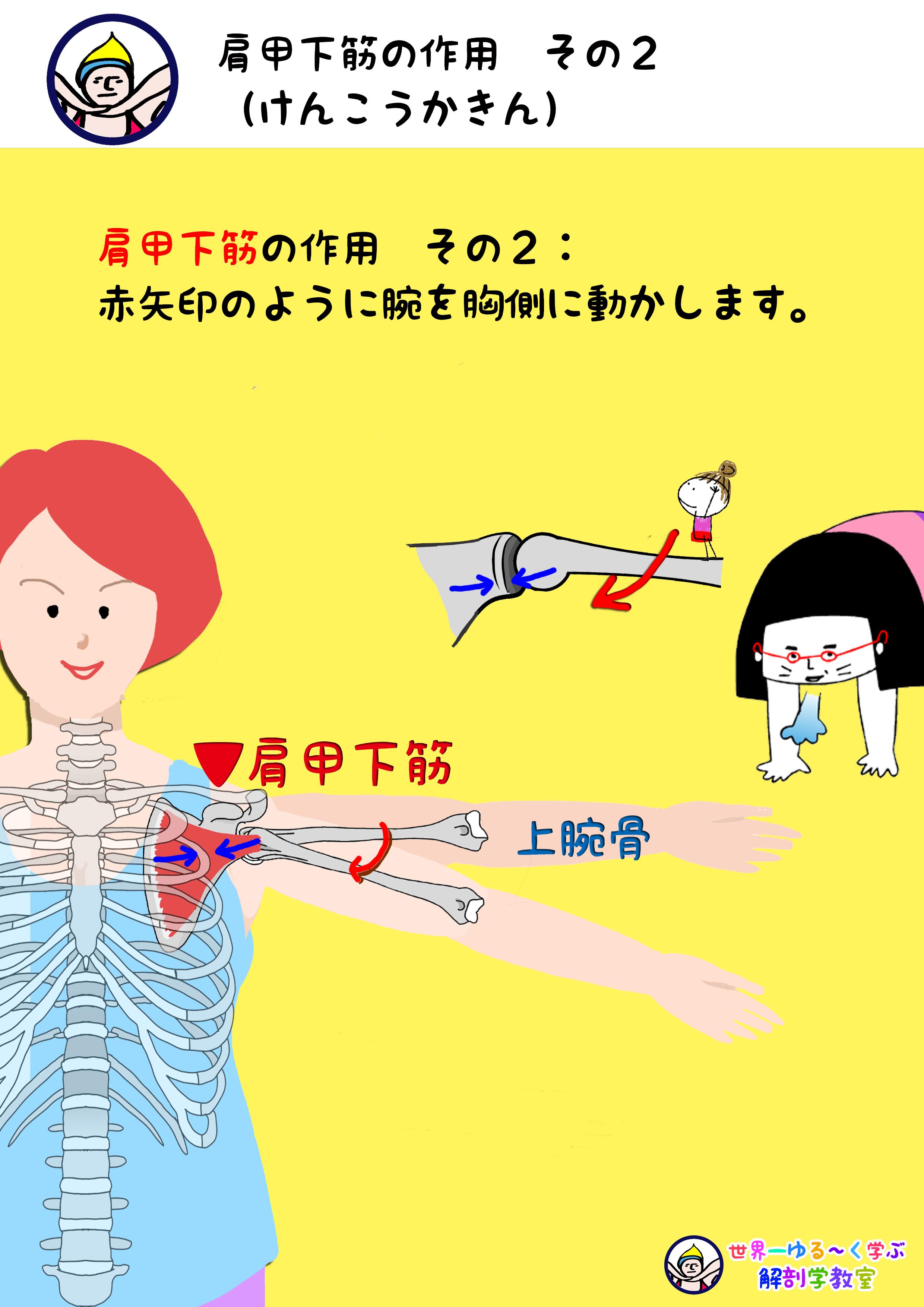 肩甲下筋の作用 水平内転