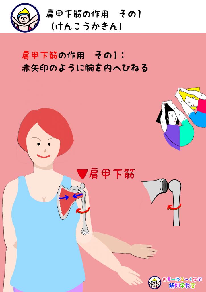肩甲下筋の作用 内旋