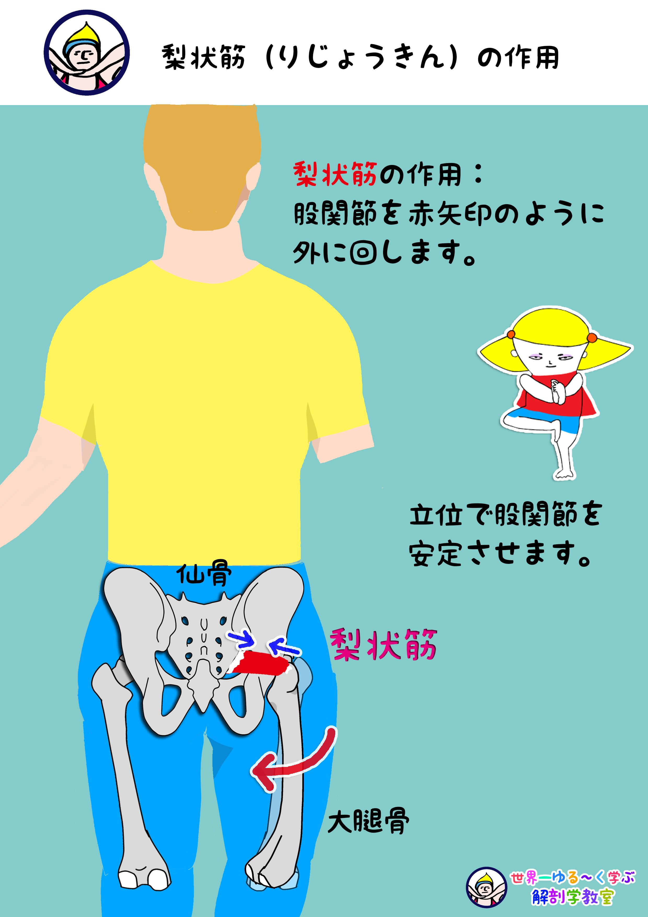 梨状筋の作用