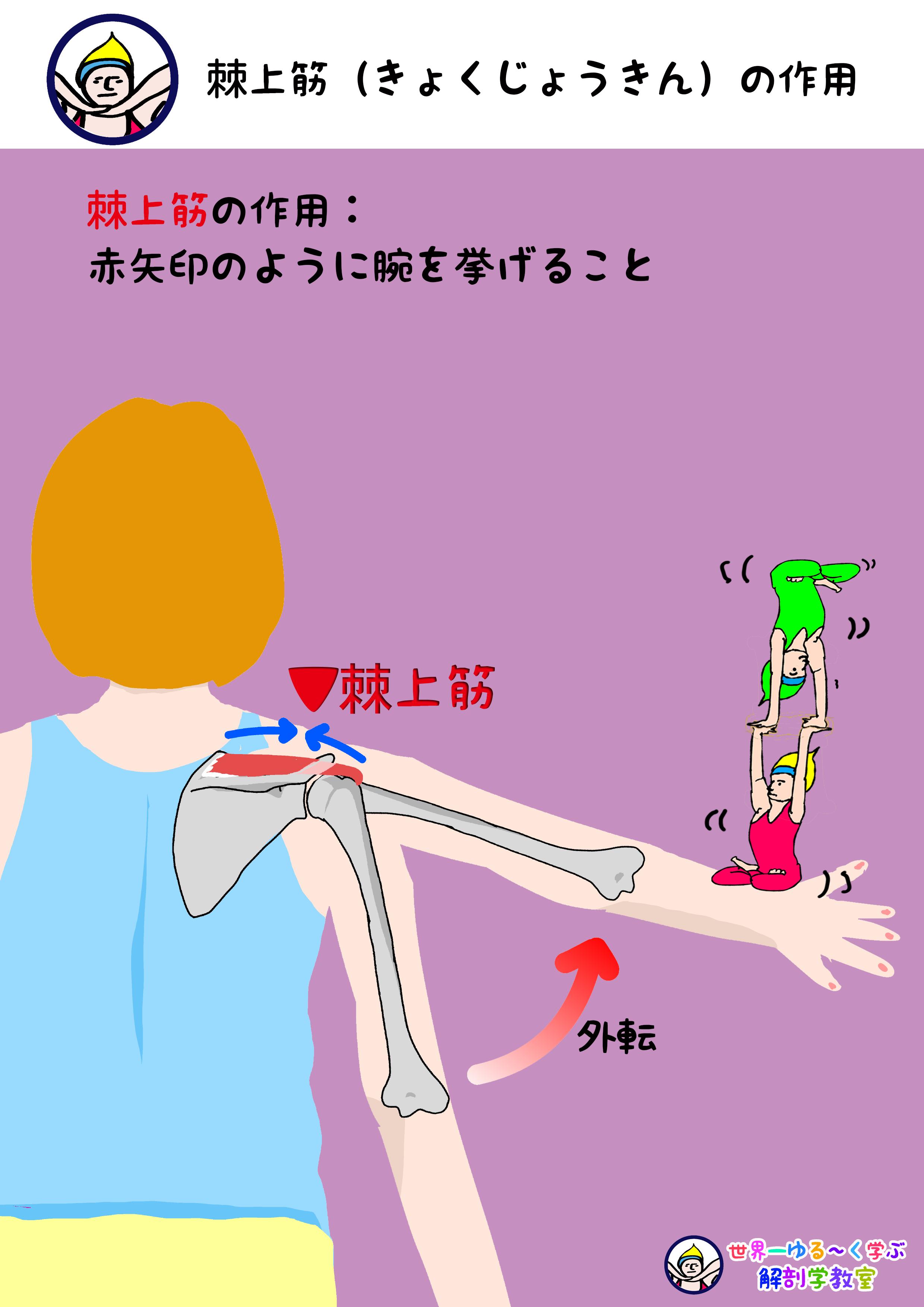 棘上筋の作用