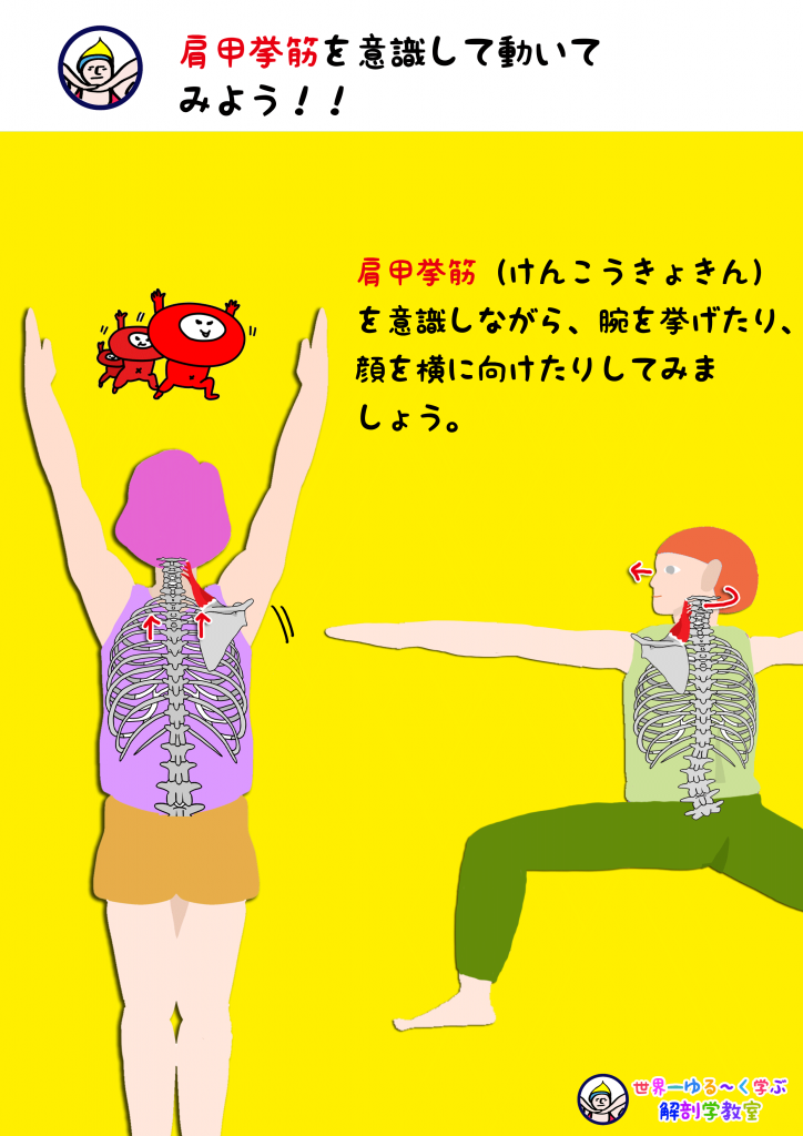 肩甲挙筋を意識する