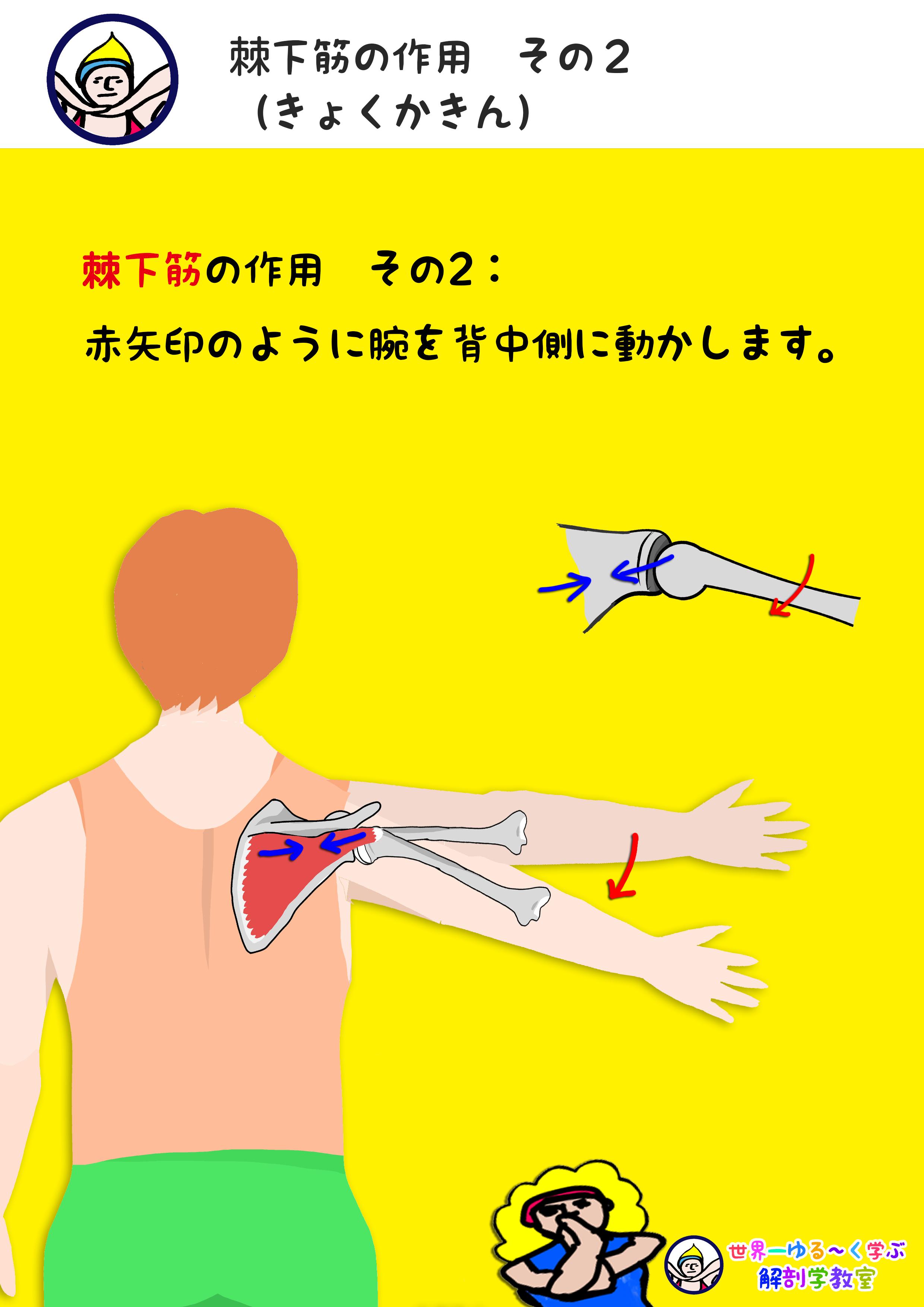 棘下筋の作用 水平外転