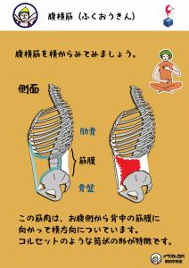 ヨガ解剖学|腹横筋