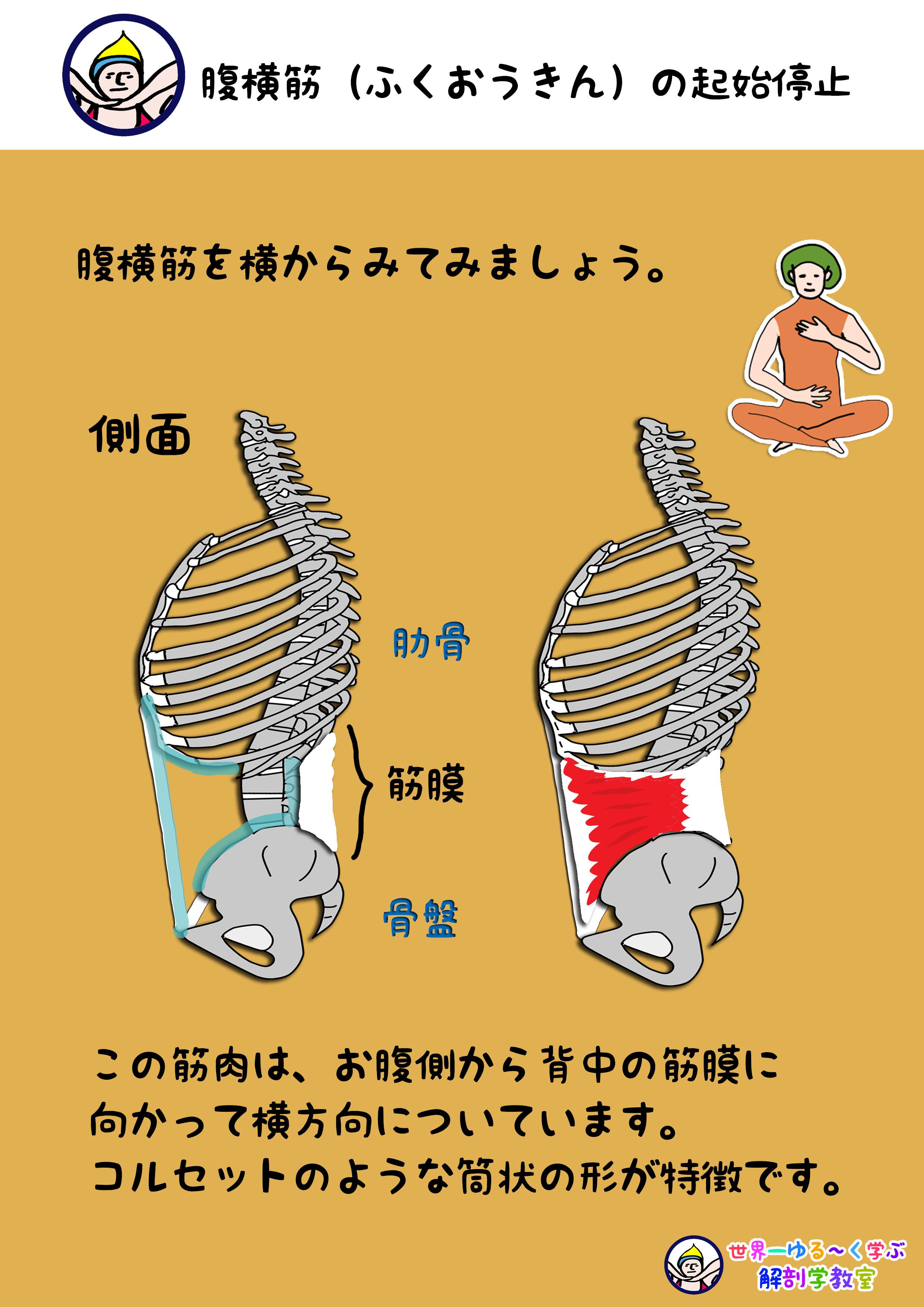 腹横筋 側面