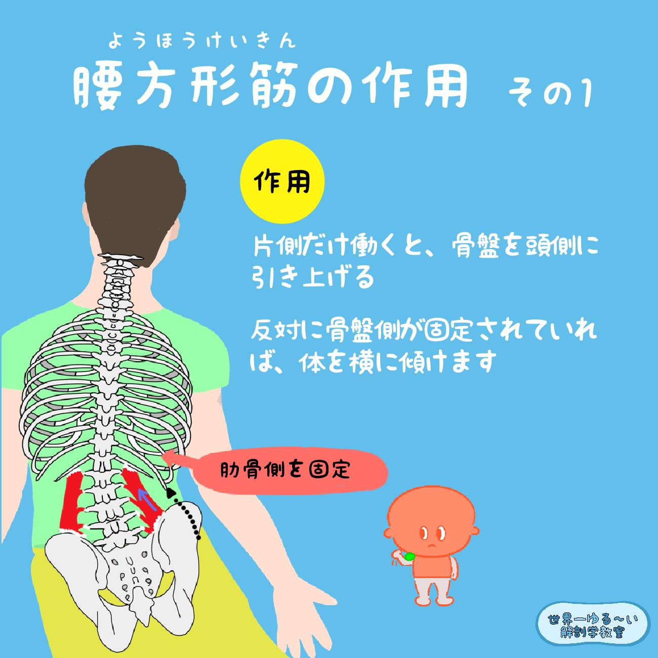 筋 腰 方形 腰の筋肉 【腰方形筋】その機能とストレッチ、マッサージや整体の詳細  