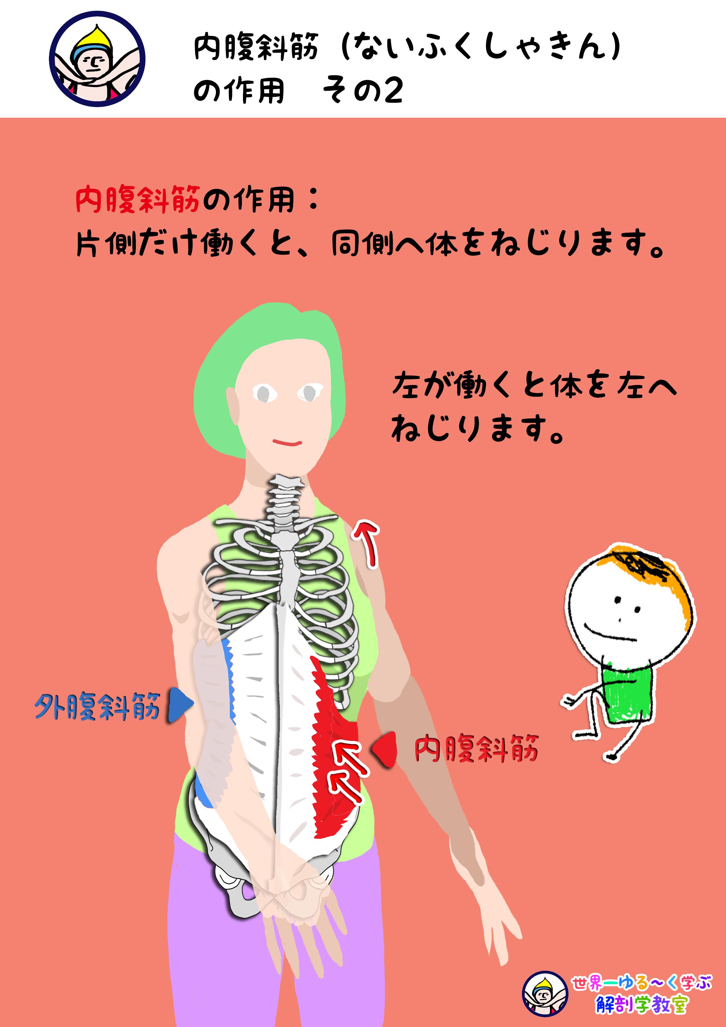 内腹斜筋の作用 その2