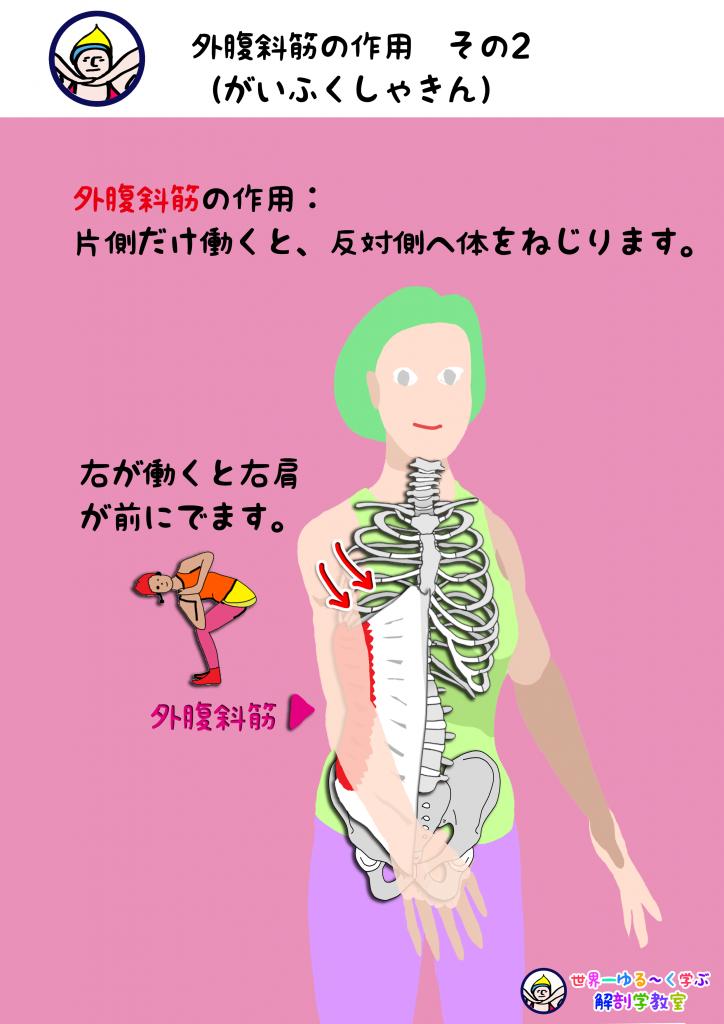 外腹斜筋の作用 その2